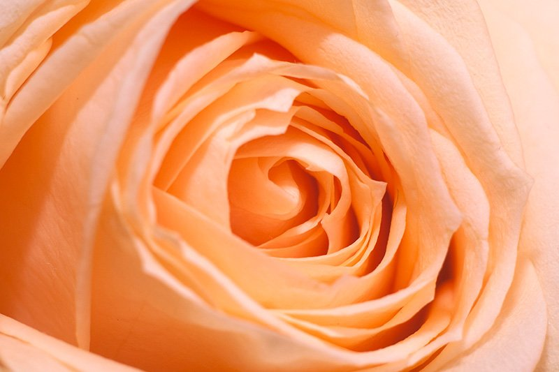 Peach Rose Close Up Macro