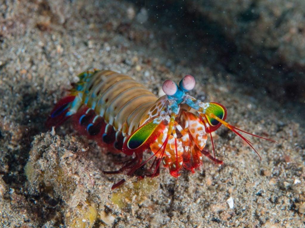 Peacock mantis shrimp aka Odontodactylus Scyllarus on the ocean floor