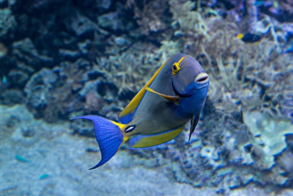 Pencil surgeonfish aka Acanthurus Dussumieri or the eye-striped surgeonfish