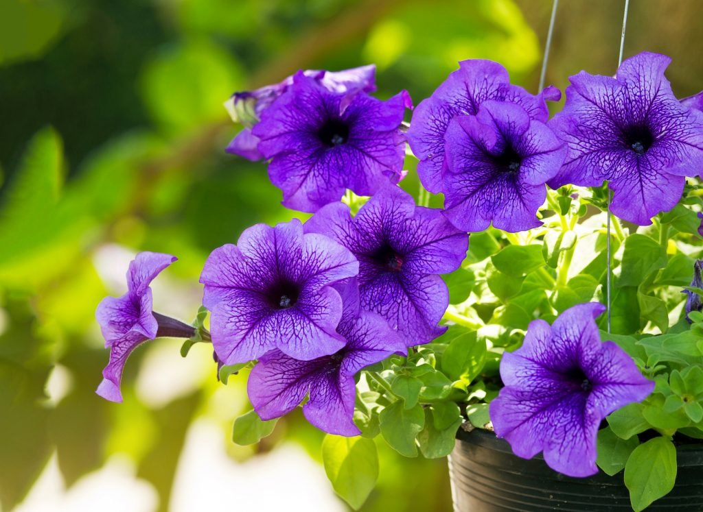 Purple petunias hanging in a flowerpot outside with a green blurred background