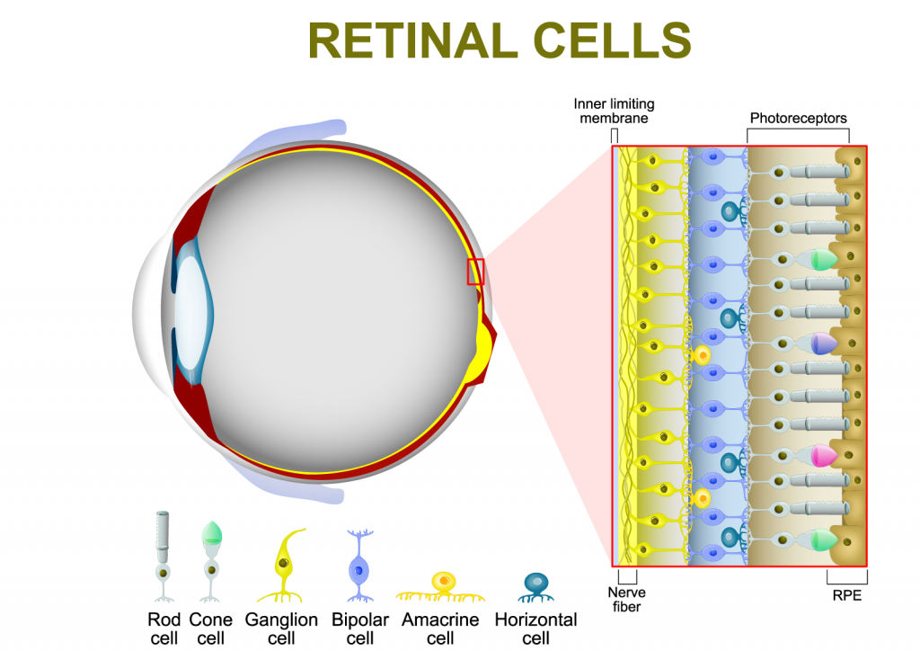 Photoreceptor cells in the retina of the human eye