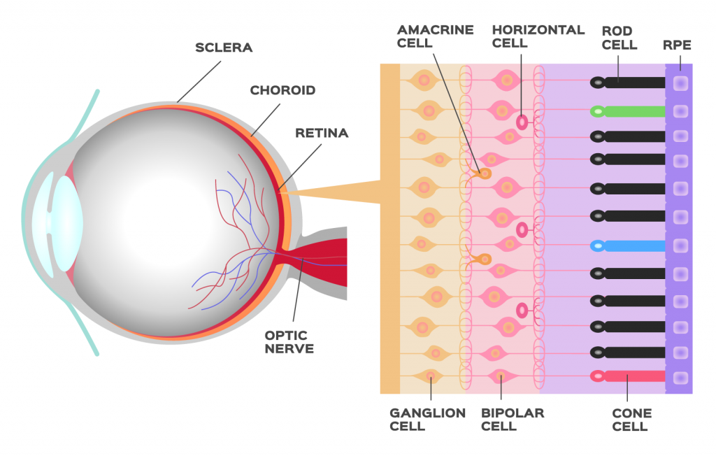 Structure and function of the photoreceptor in the retina of the human eye with rod and cone cells