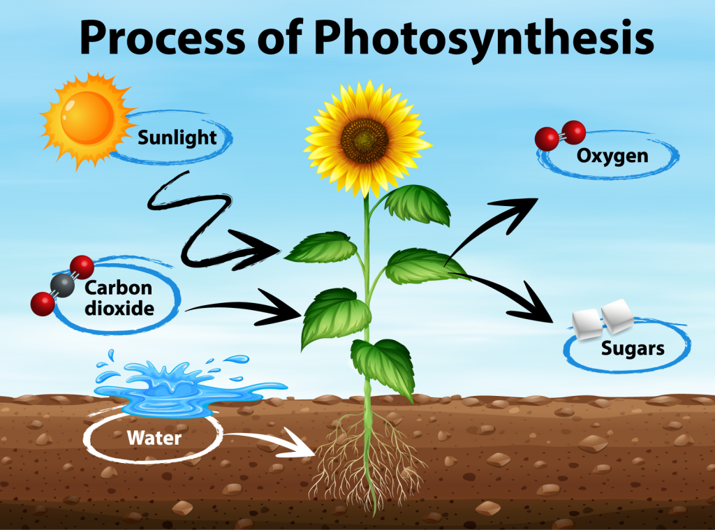 Illustration of photosynthesis in plants