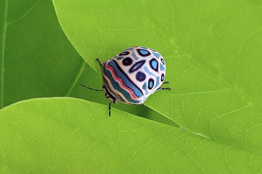 Picasso bug aka Sphaerocoris Annulus with multicolored back