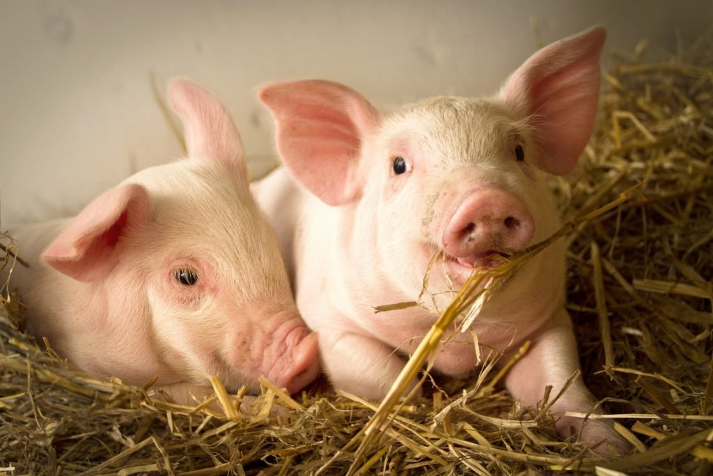 Two small pigs in a barn lies in fresh hay