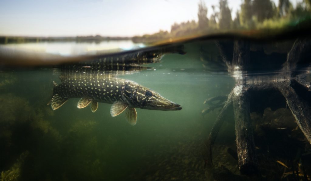 Pike fish swimming in shallow waters