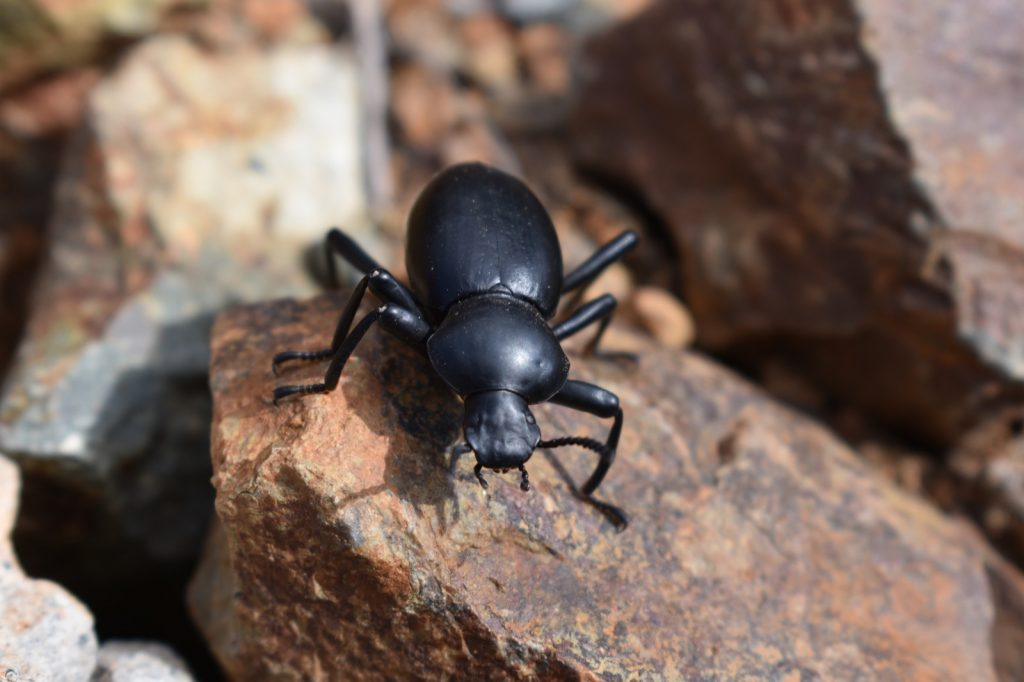 Pinacate beetle or desert stink beetle in San Diego