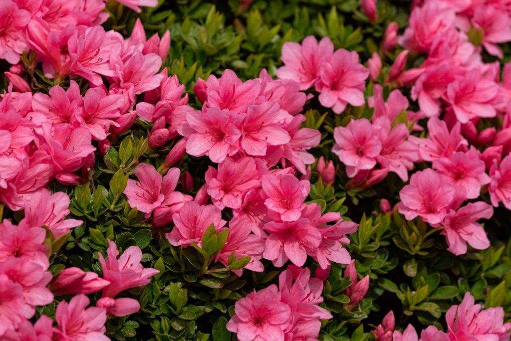 Pink azalea flower in full bloom in a garden