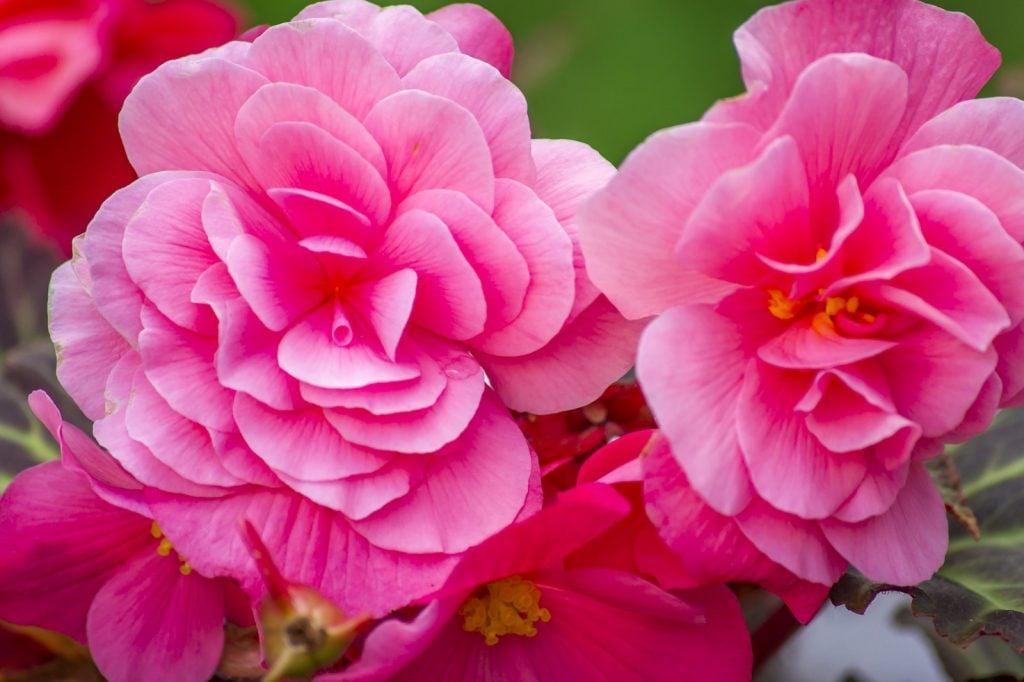 Closeup of pink begonia flowers