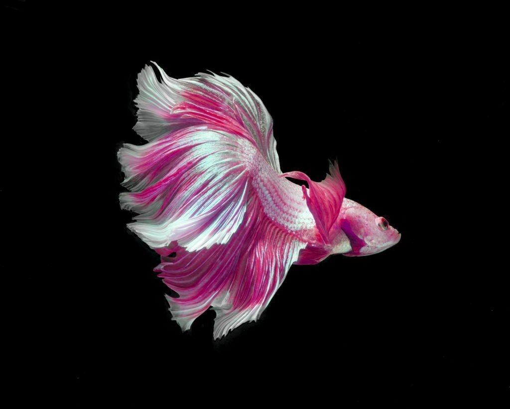 Pink and white color better fish, also known as dragon siamese fighting fish in a aquarium with black background