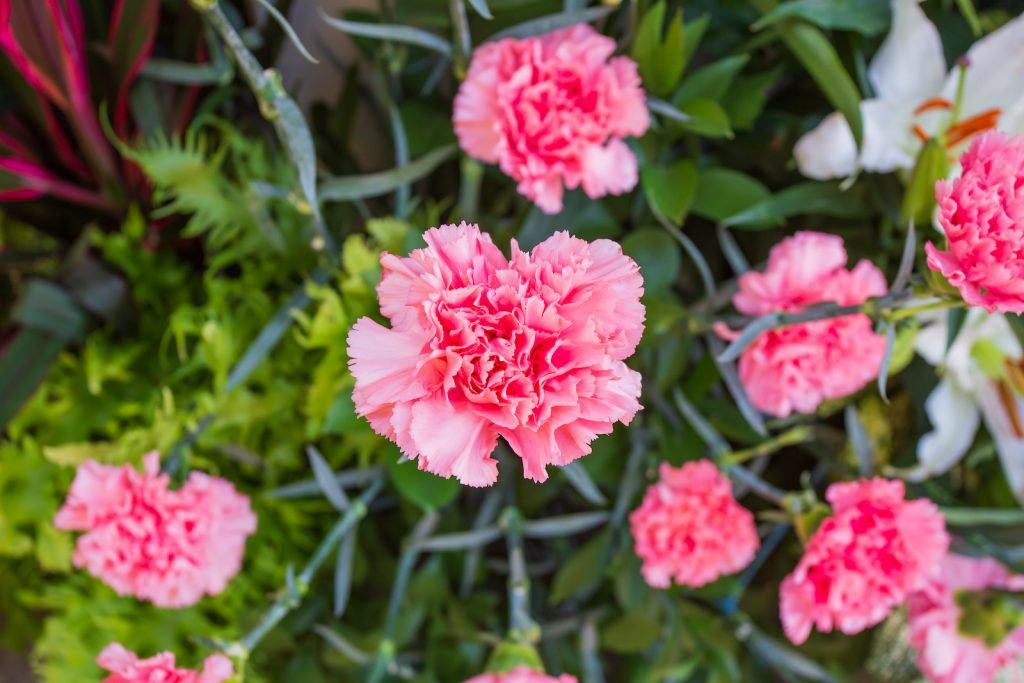 Top view of pink carnations in a garden