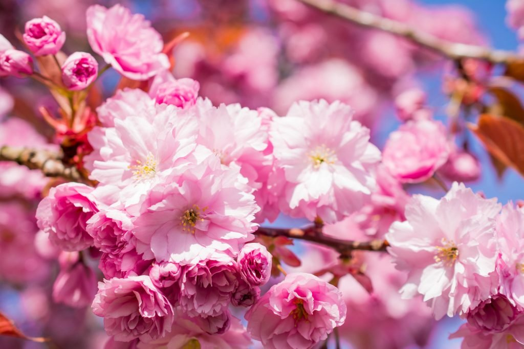 Close up of delicate pink cherry blossoms on a tree