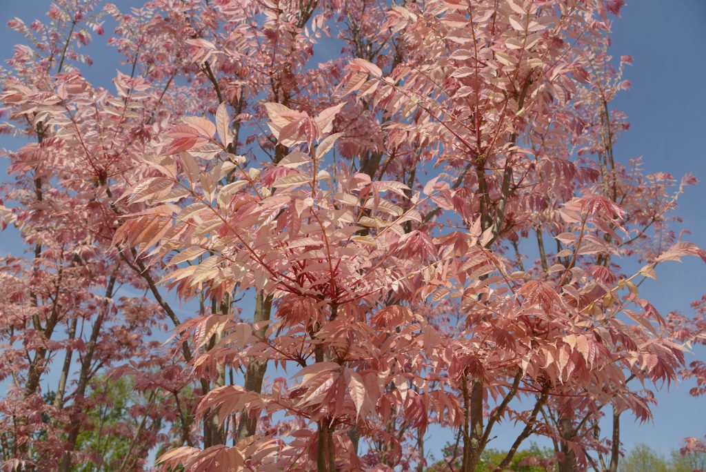 Close up of pink chinese cedars leaves