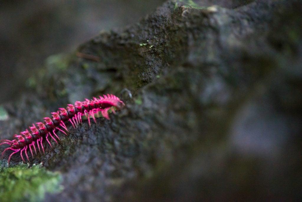 Macro shot of a single pink dragon millipede crawling on a wet rock