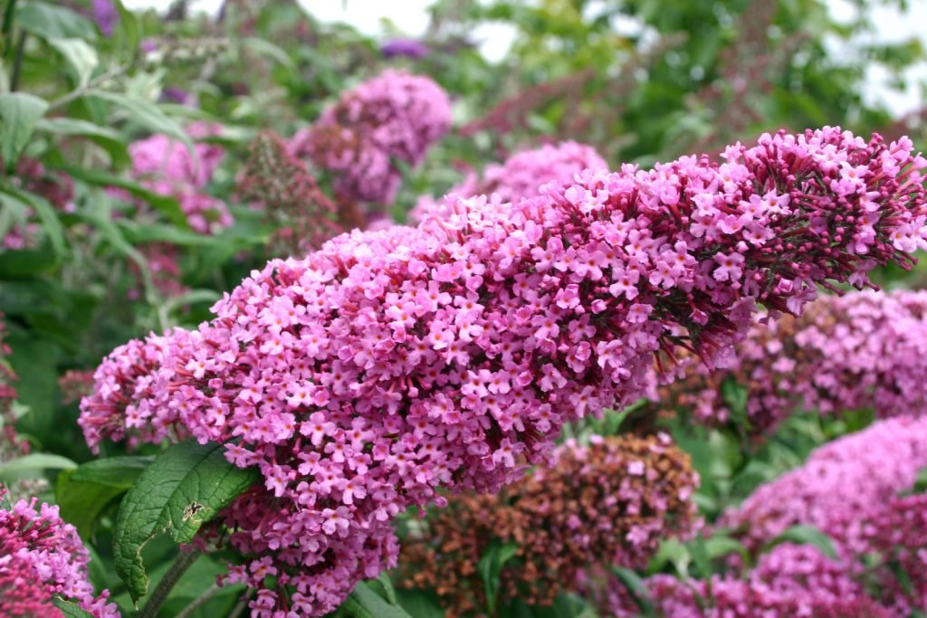 Close up of pink delight butterfly bushes