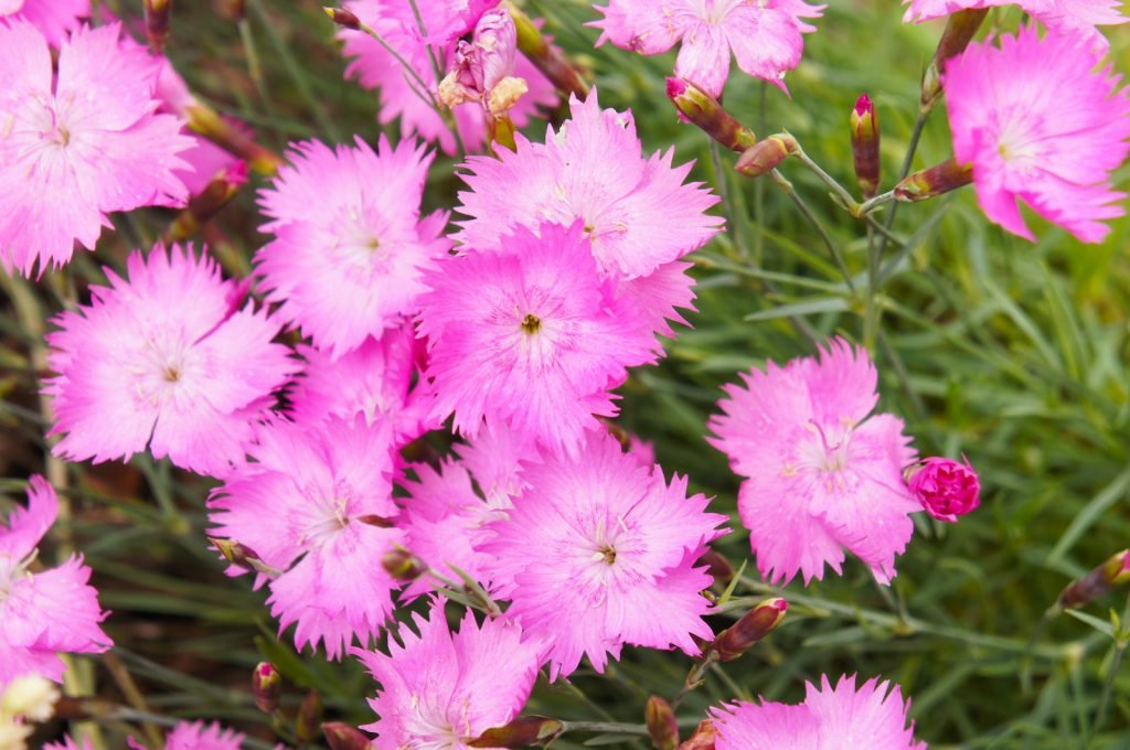 Top view of pink dianthus flowers in a garden