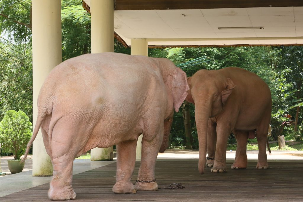 Two albino elephants in captivity standing in the shades of a tall building