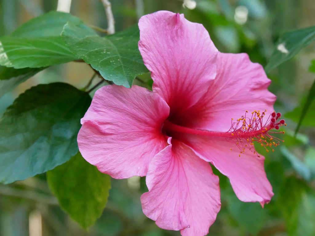 Close up of pink hibiscus flower head in bloom in a garden