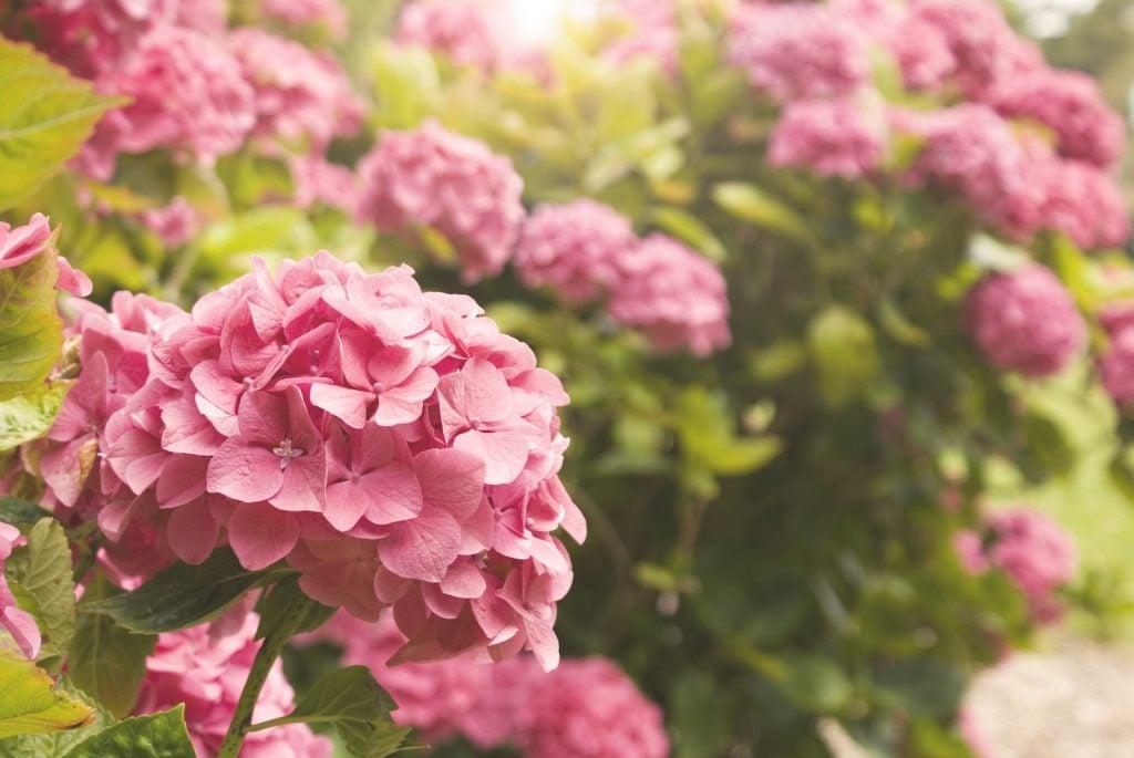 Close up of pink hydrangeas in a garden blurred background of more pink hydrangeas