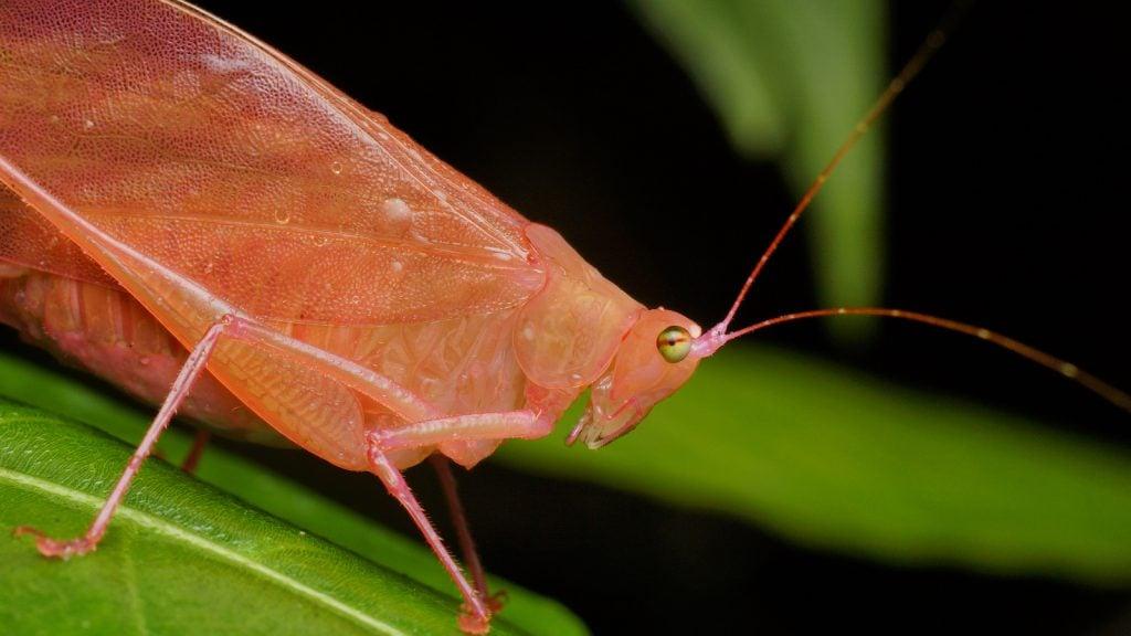 Close up of a pink erythrismal katydid sitting on a green leaf