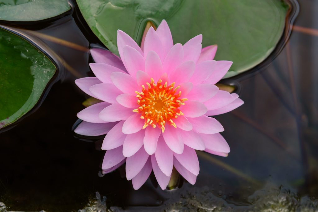 Top view of a pink lotus in bloom in the water
