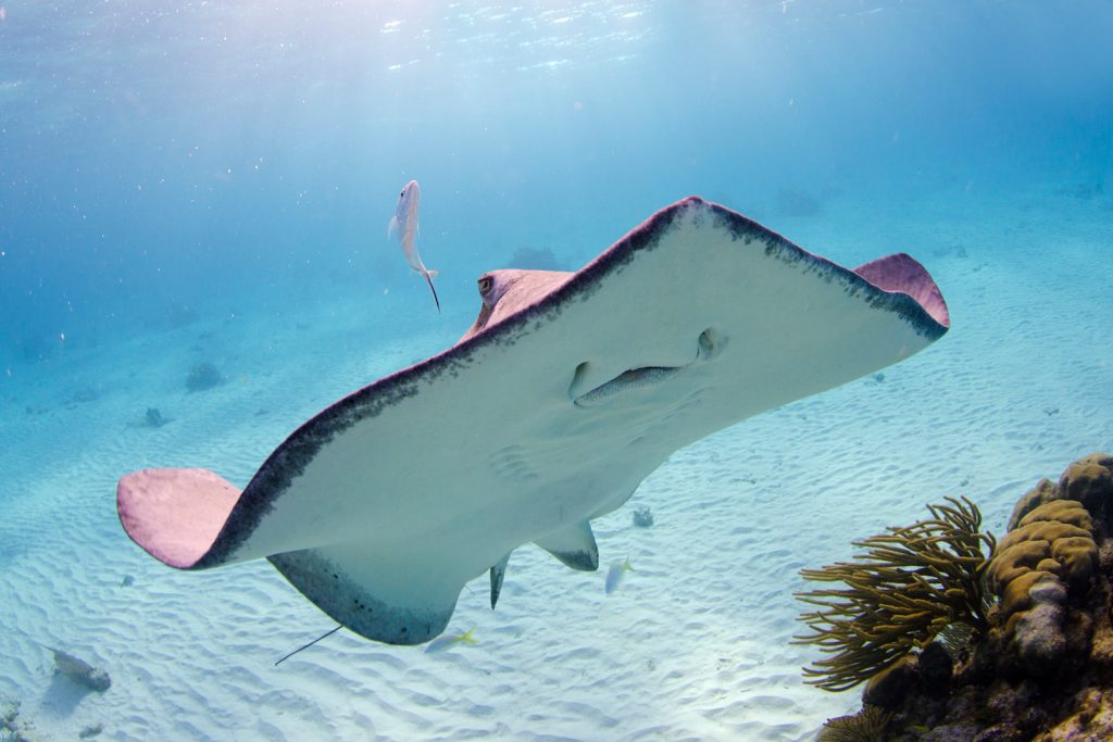 Single pink whiptail ray in the ocean smiling to the photographer