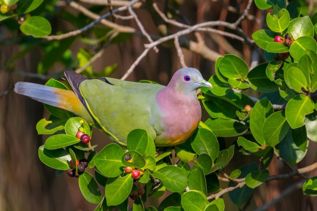 Male pink-necked green pigeon aka Treron Vernans on a branch