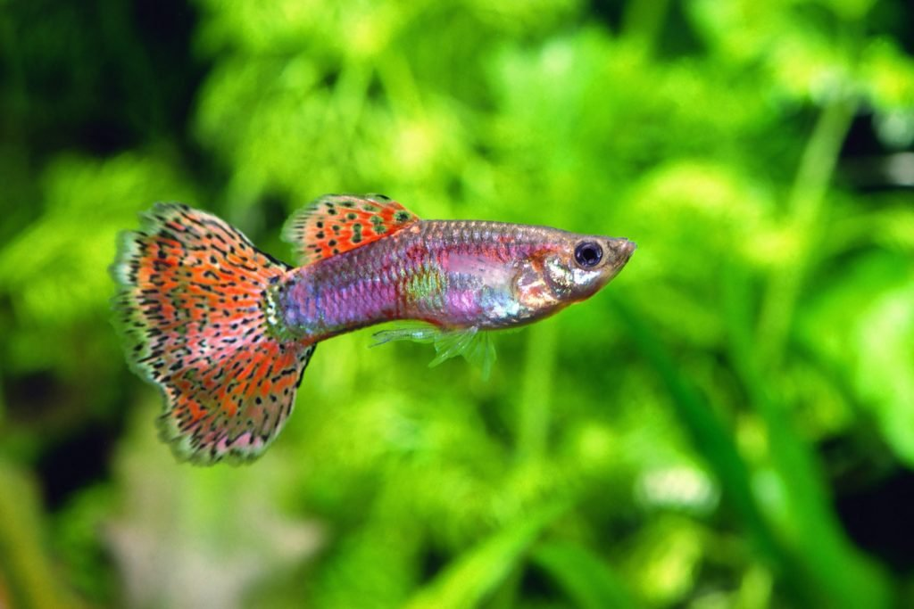 Pink and orange guppy fish in an aquarium