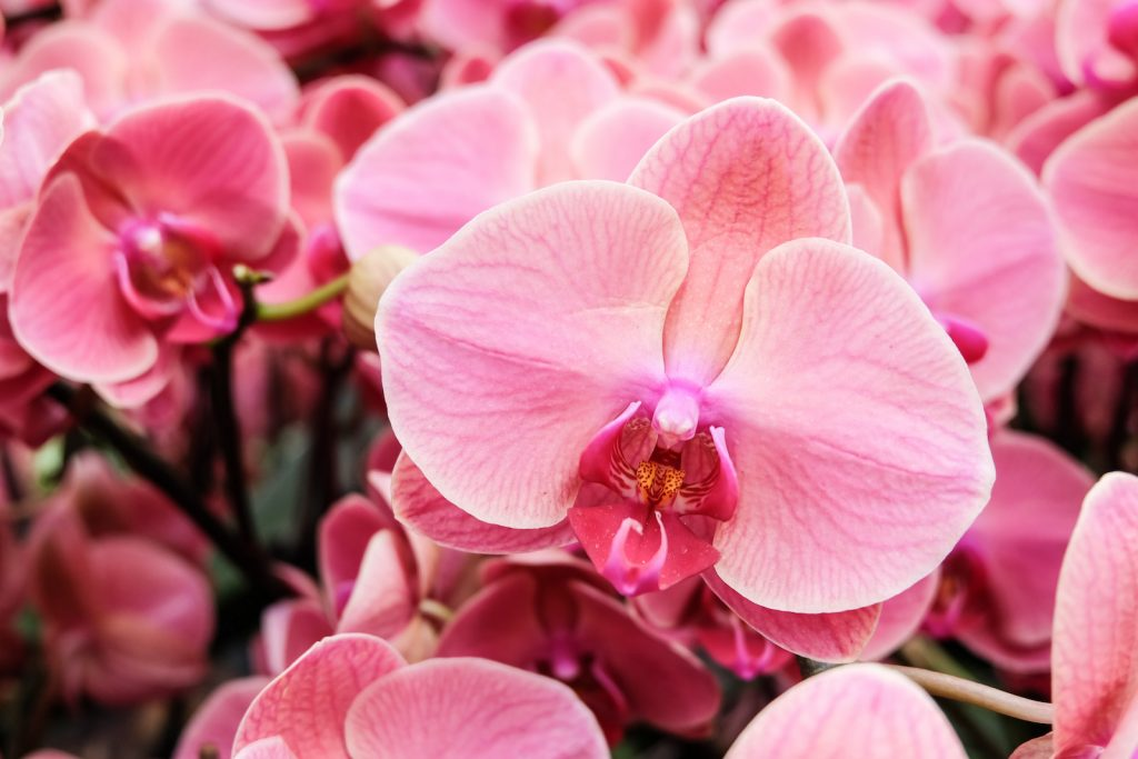 Close up of blooming pink orchids