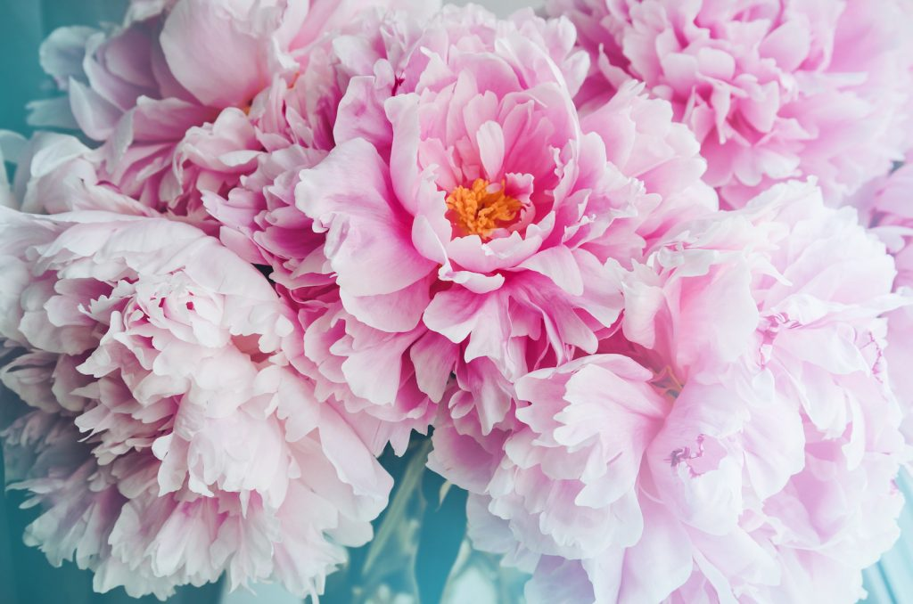Close up of blooming pink peonies flower heads