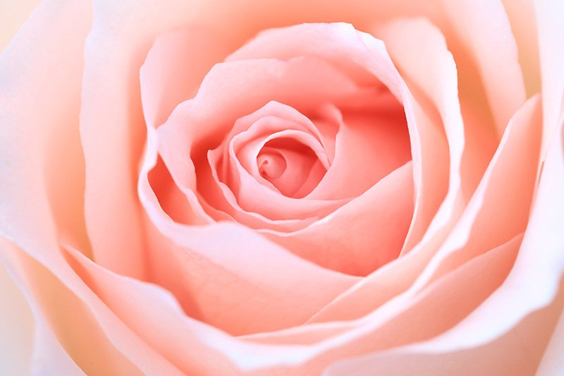 Pink Rose Close Up Macro