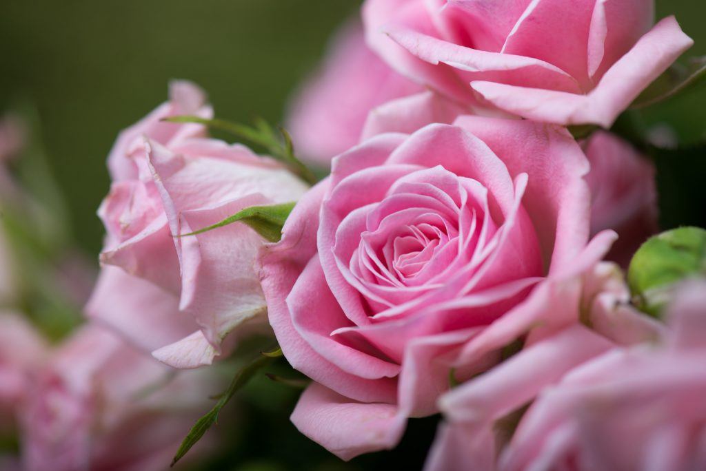 Close up of blooming pink roses in a garden