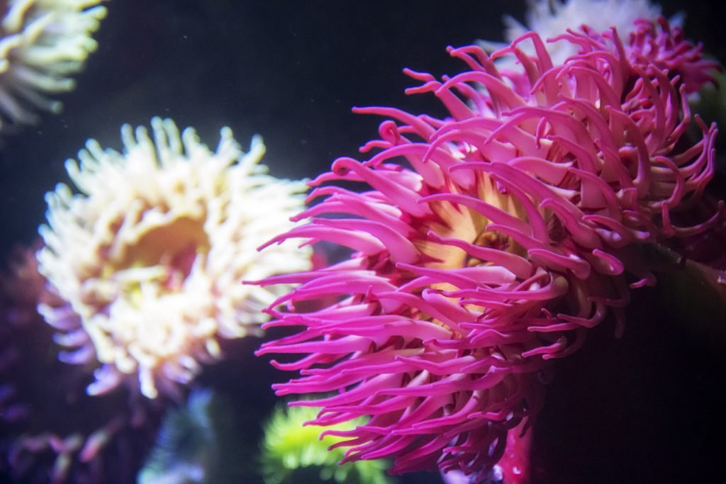Pink sea anemone in the water