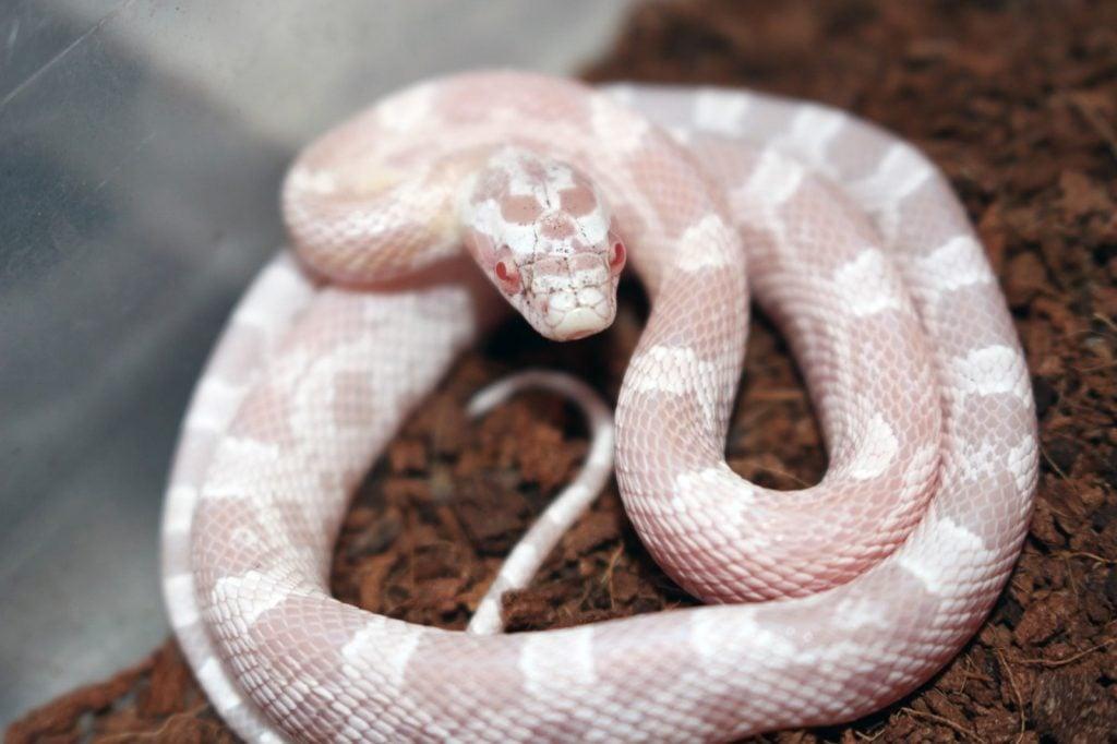 Pink snow corn snake aka Pantherophis Guttatus