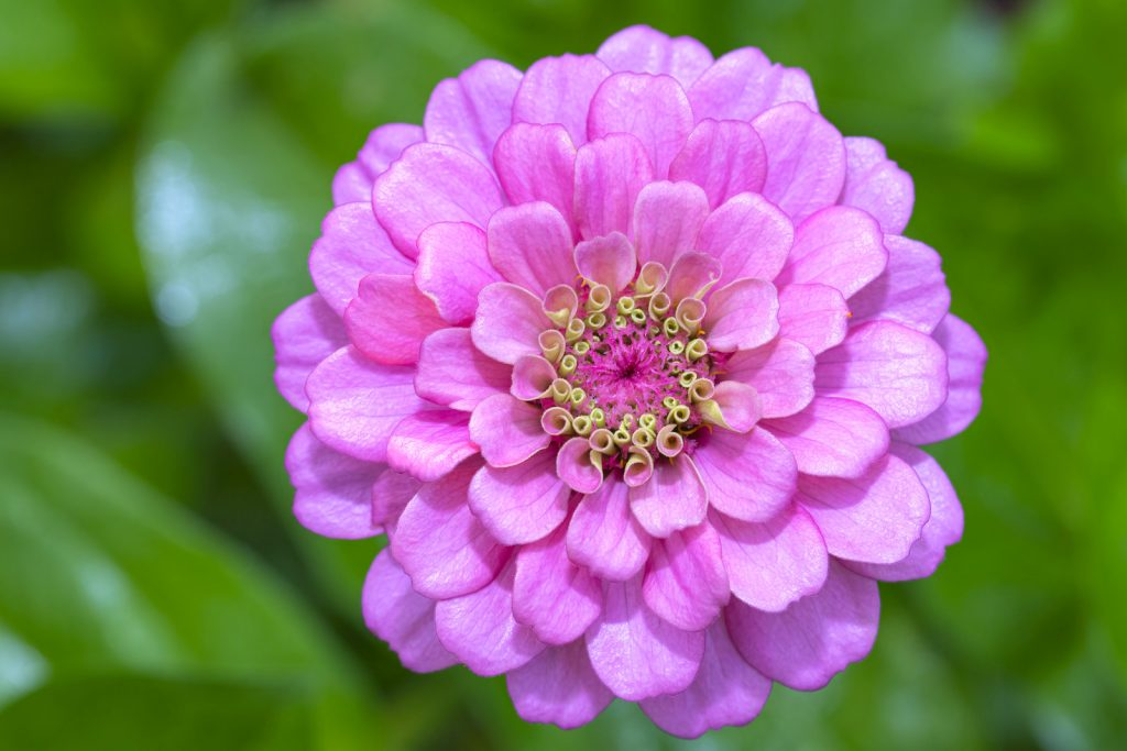 Top view of blooming pink zinnia flower in a garden with blurred green background