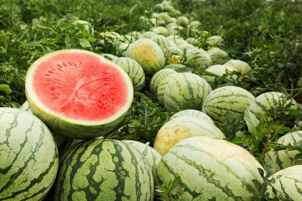 Pinkish-red cut watermelon on a pile of ripe watermelons in a field