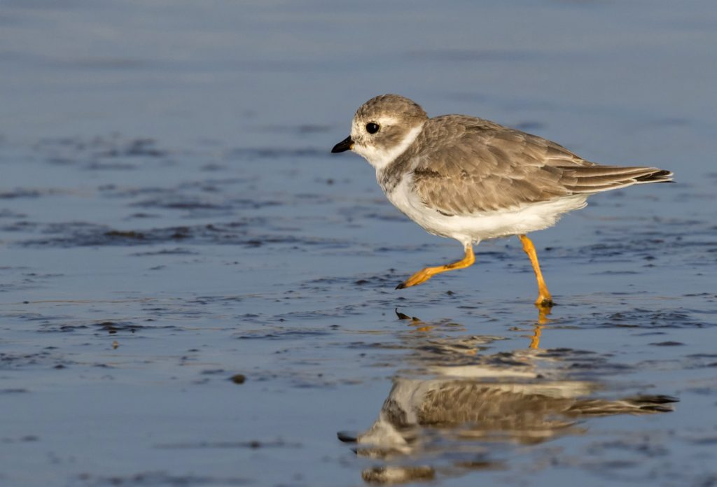 Piping plover aka Charadrius Melodus on the ocean coast in winter