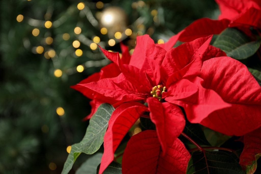 The Poinsettia is a red and green Christmas plant