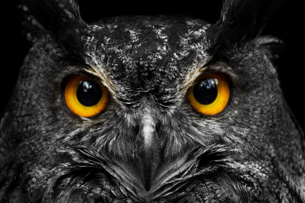 Portrait of black and white owl with big yellow eyes