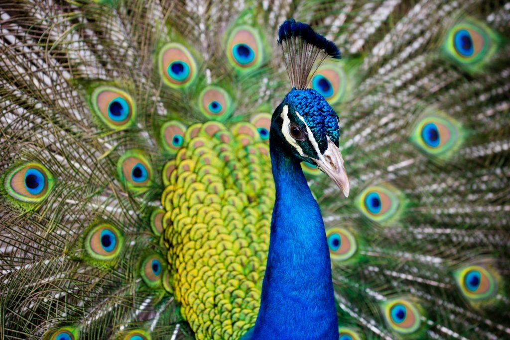 Portrait of colorful blue male peacock with feathers out