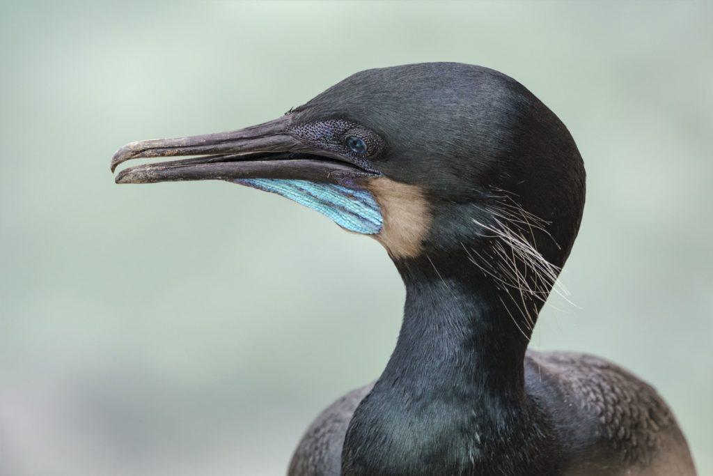 Close-up portrait of brandt's cormorant