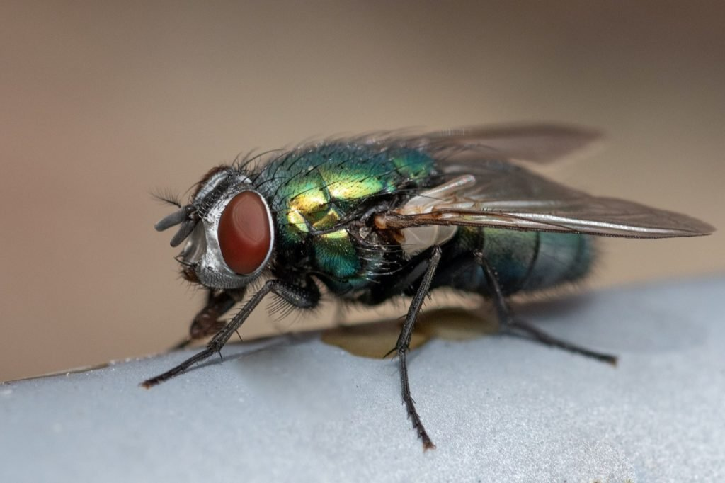 Closeup portrait of a green fly