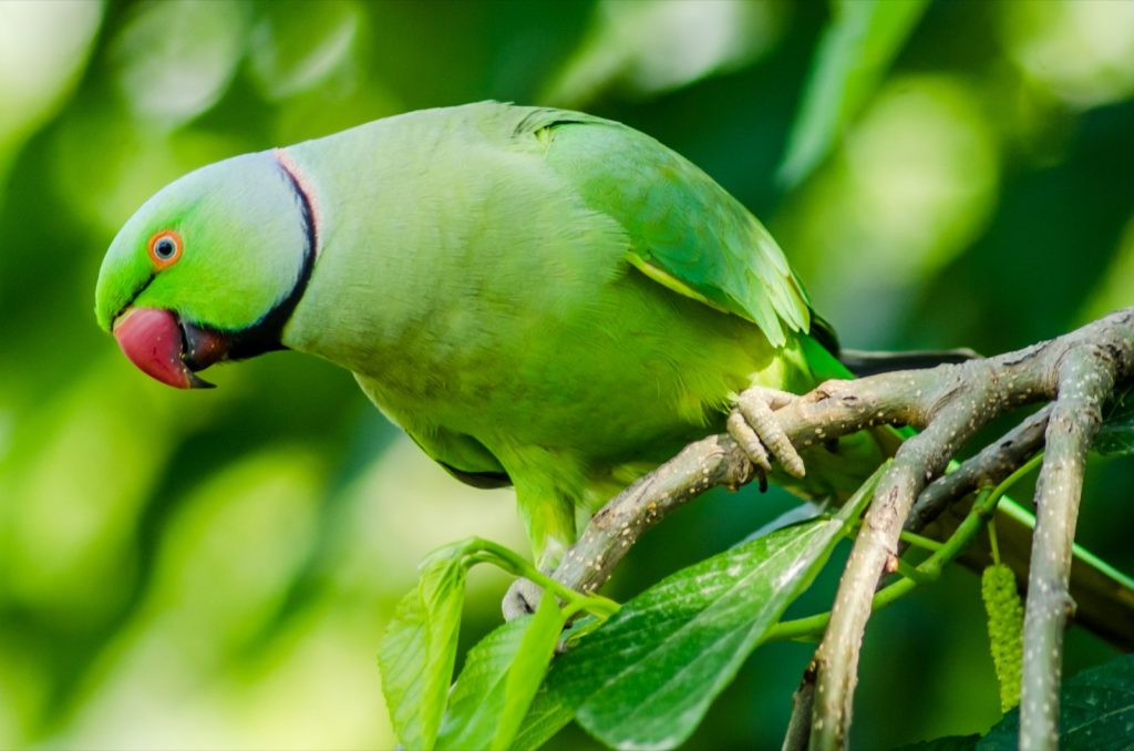 Portrait of green rose-ringed parakeet in the wild