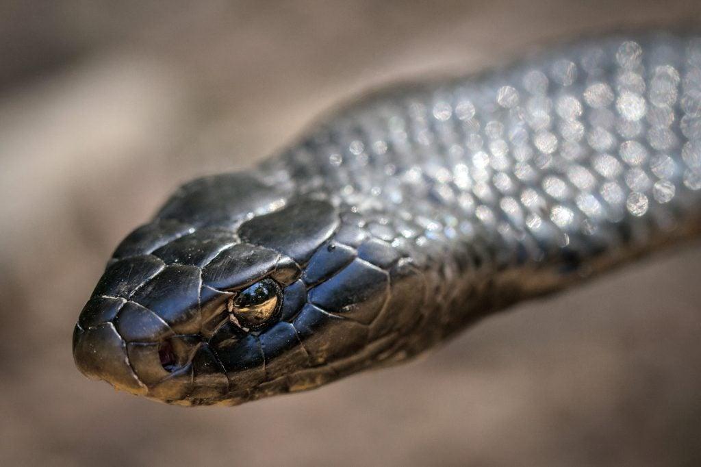 Portrait of papuan black snake