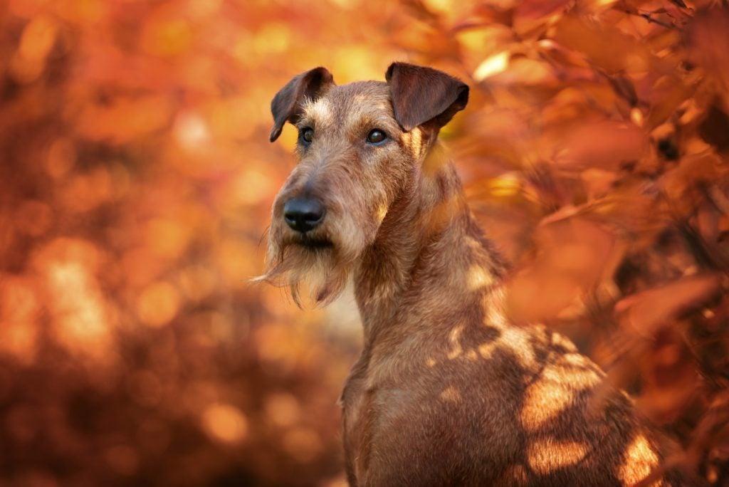 Portrait of red Irish terrier in autumn