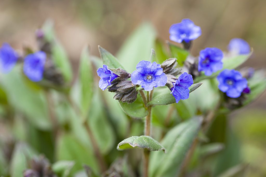 Pulmonaria blue ensign flowers known as Lungwort
