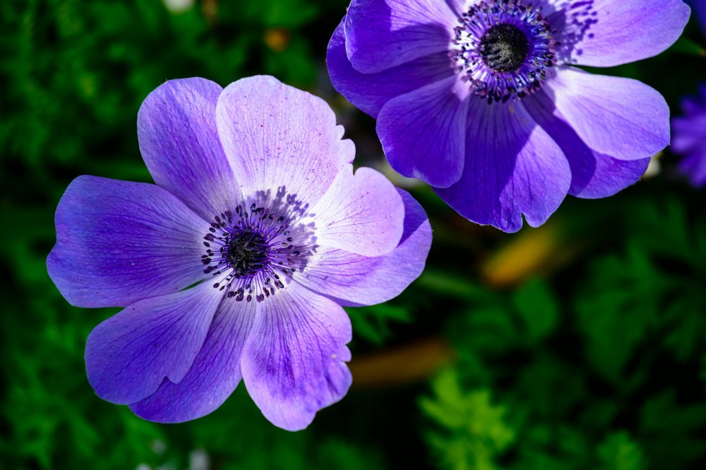 closeup of purple anemones flower heads in bloom