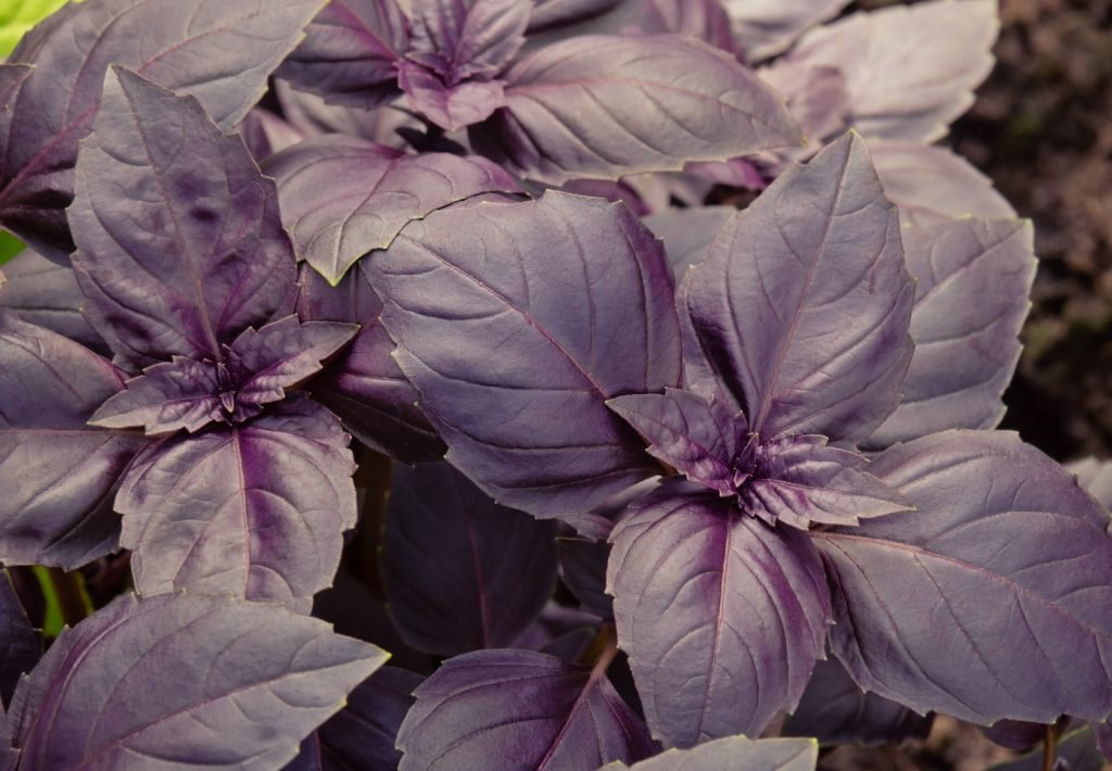 Top view of growing purple basil in a garden