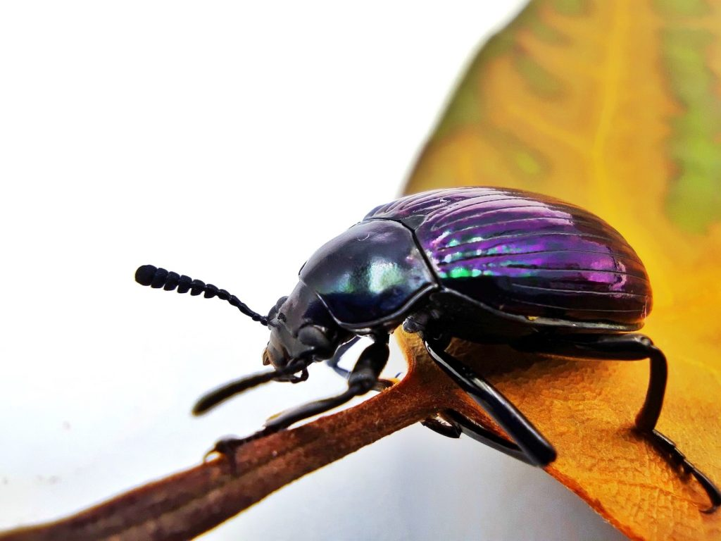 Close up of one single beetle with purple shell sitting on a leaf