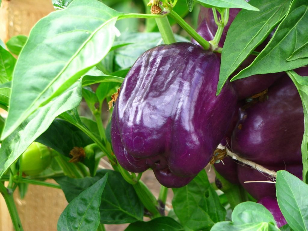 Close up of purple bell peppers hanging from its stem in a farm garden